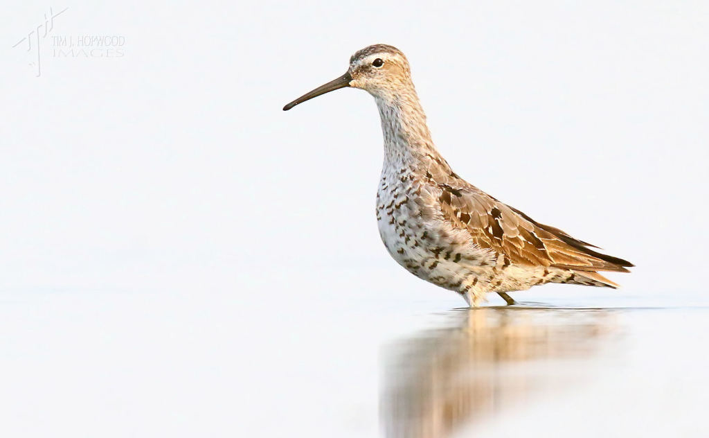 A Stilt Sandpiper - cal, wind-free mornings like this are great for shooting & also relaxing