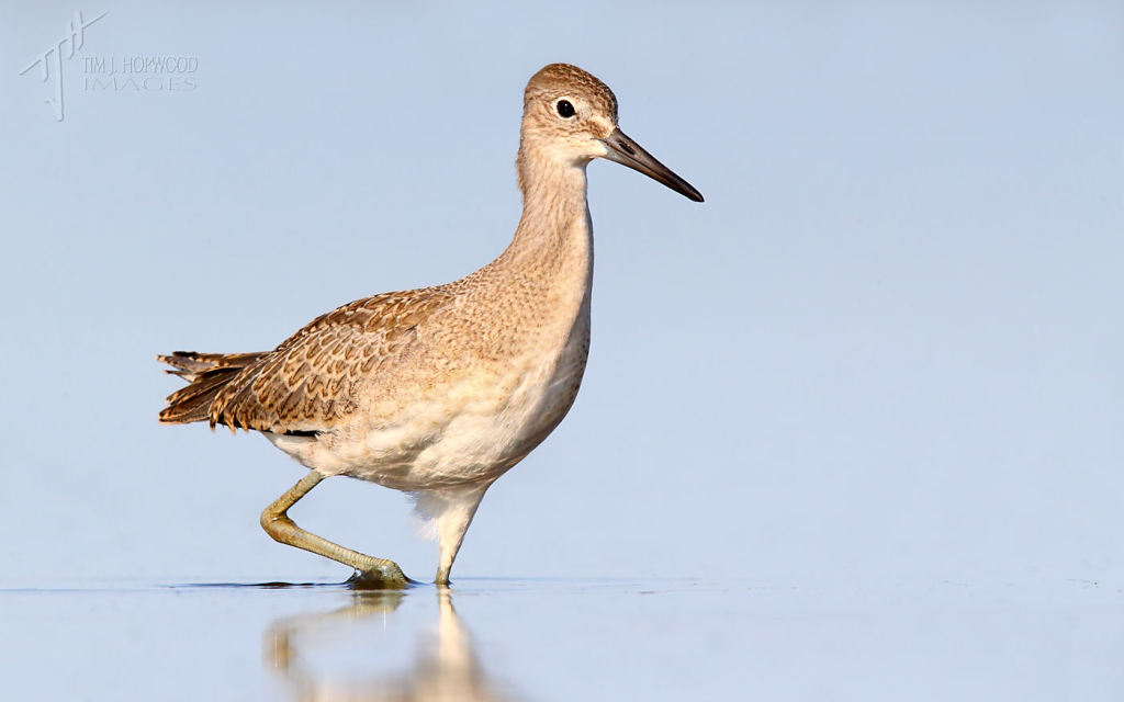 A Willet - a fairly common sight at Weed Lake in late July.