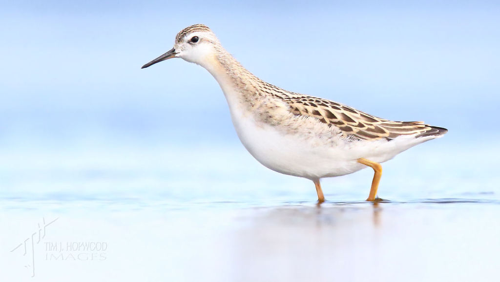 A young Wilson's Phalarope