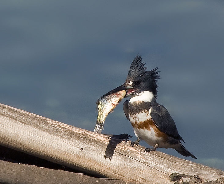 Male Belted Kingfisher. Creative Commons photo. Thank you!