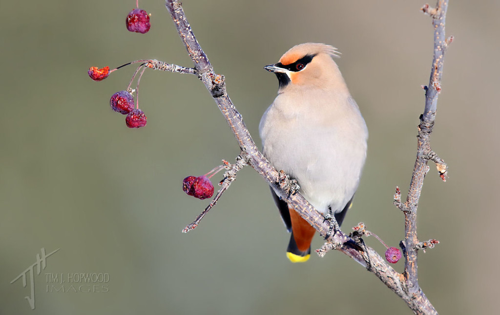 Bohemian_Waxwing (by Tim Hopwood)