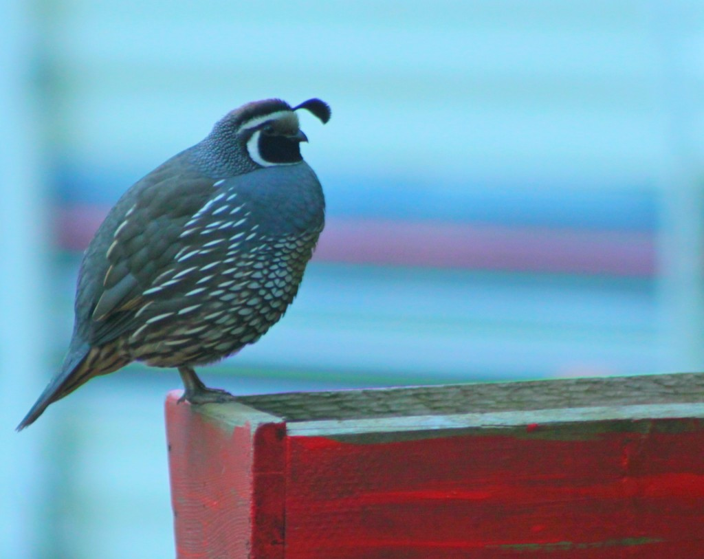 California Quail. Photo by Doug Green.