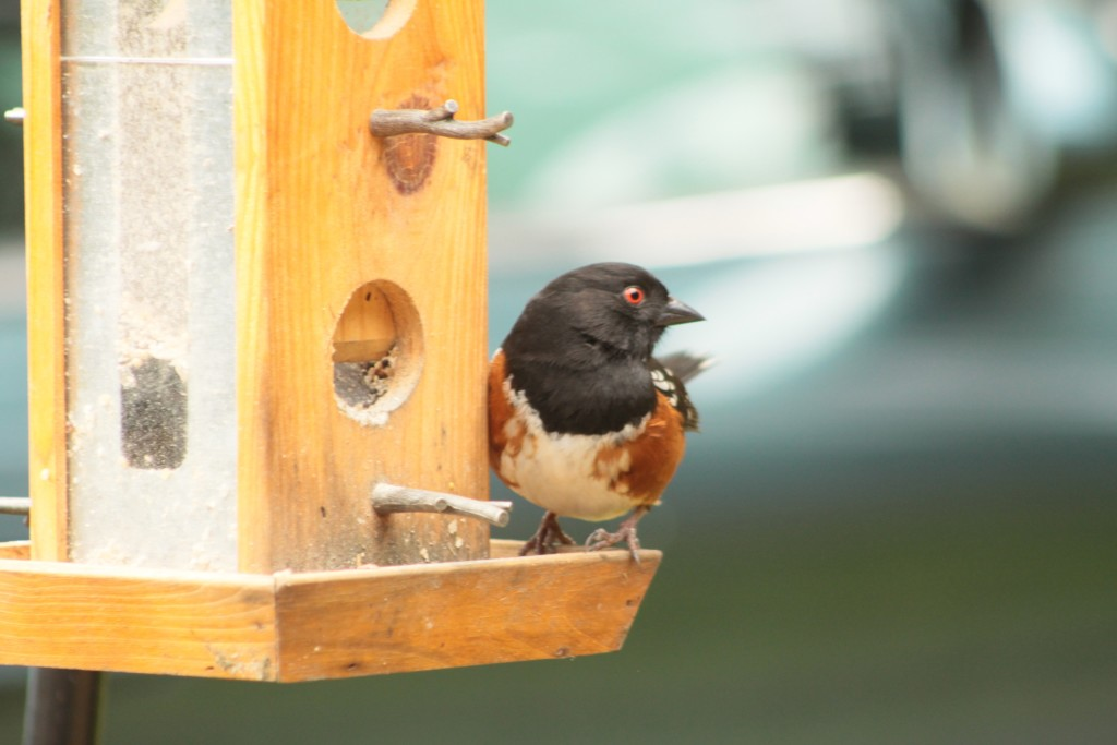 Spotted Towhee. Photo by Doug Green.