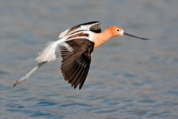 American Avocet, Bullgate Dike, Summer Lake Wildlife Refuge, Oregon. Photo by Alan D. Wilson at www.naturespicsonline.com