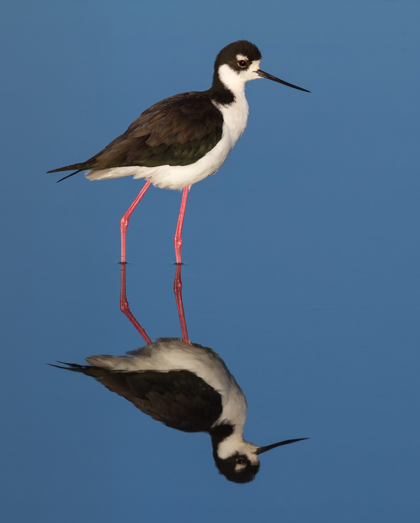 Black-necked Stilt. Photo by Frank Schulenburg. CC-license.