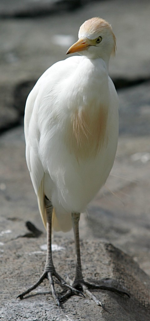 Cattle Egret. CC license.