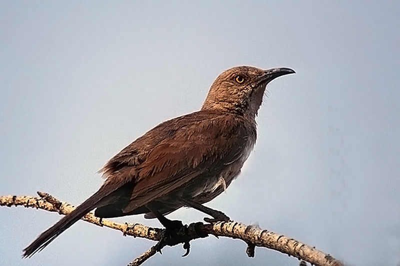 Curve-billed Thrasher. Photo by Peter Wallack. CC-license.