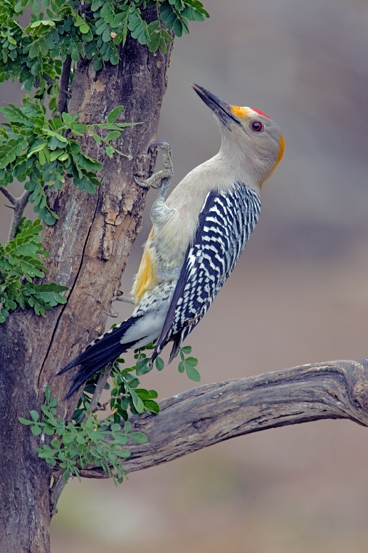 Golden-Fronted Woodpecker. CC license.