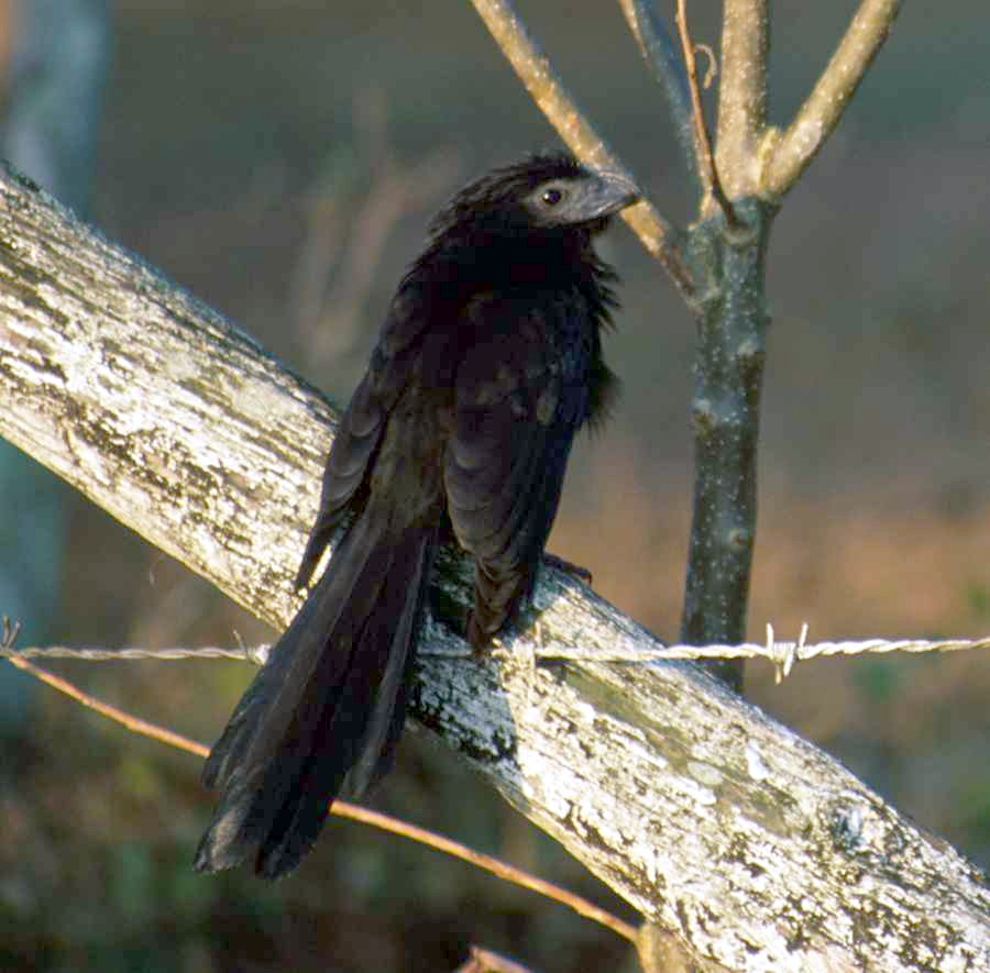 Groove-billed ani. CC license.