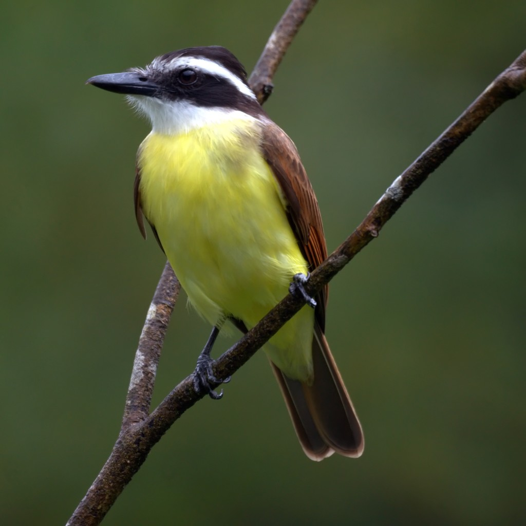 Great Kiskadee. CC license.
