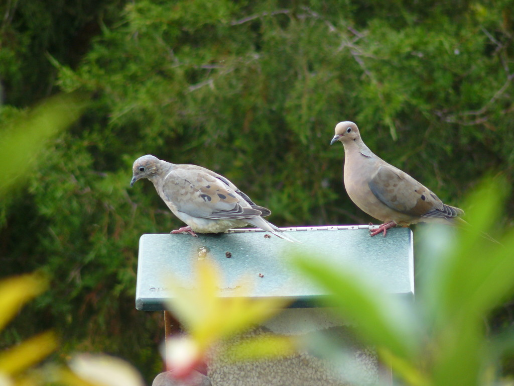 Mourning Doves. Photo taken not in SMA but at Sapsucker Woods, several years ago.