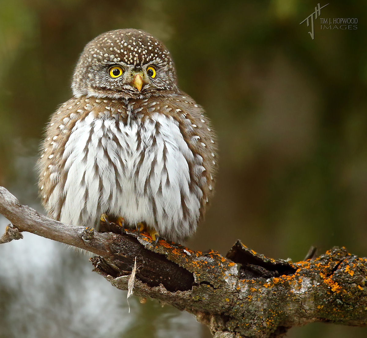 Pygmy Owls In The Park, Winter 2015
