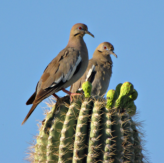 White-winged doves. CC license.