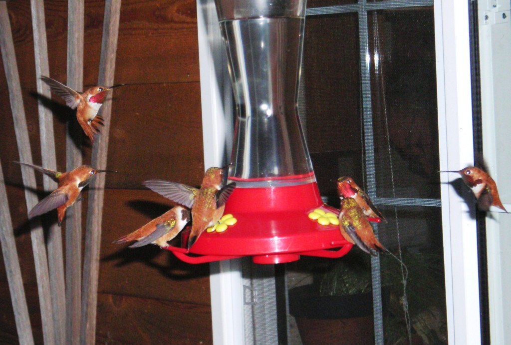 Rufous hummers