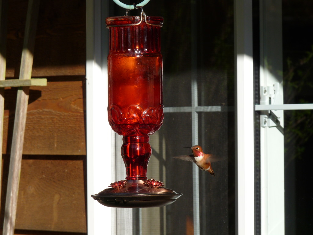 The Rufous Hummers have arrived, a sure sign of spring.