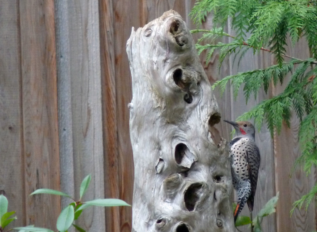 The Northern Flicker likes this natural feeder.