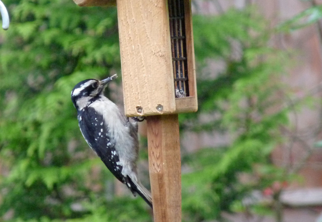 Hairy Woodpecker at suet