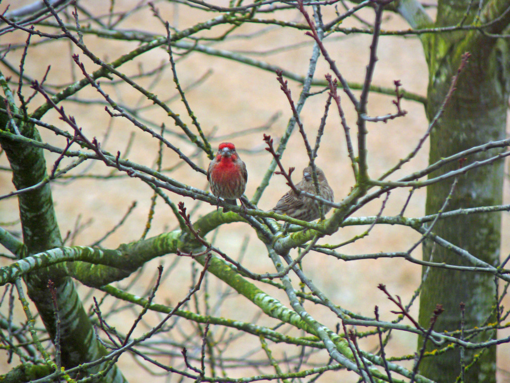 House Finch couple in tree. Beauty and oh that song!