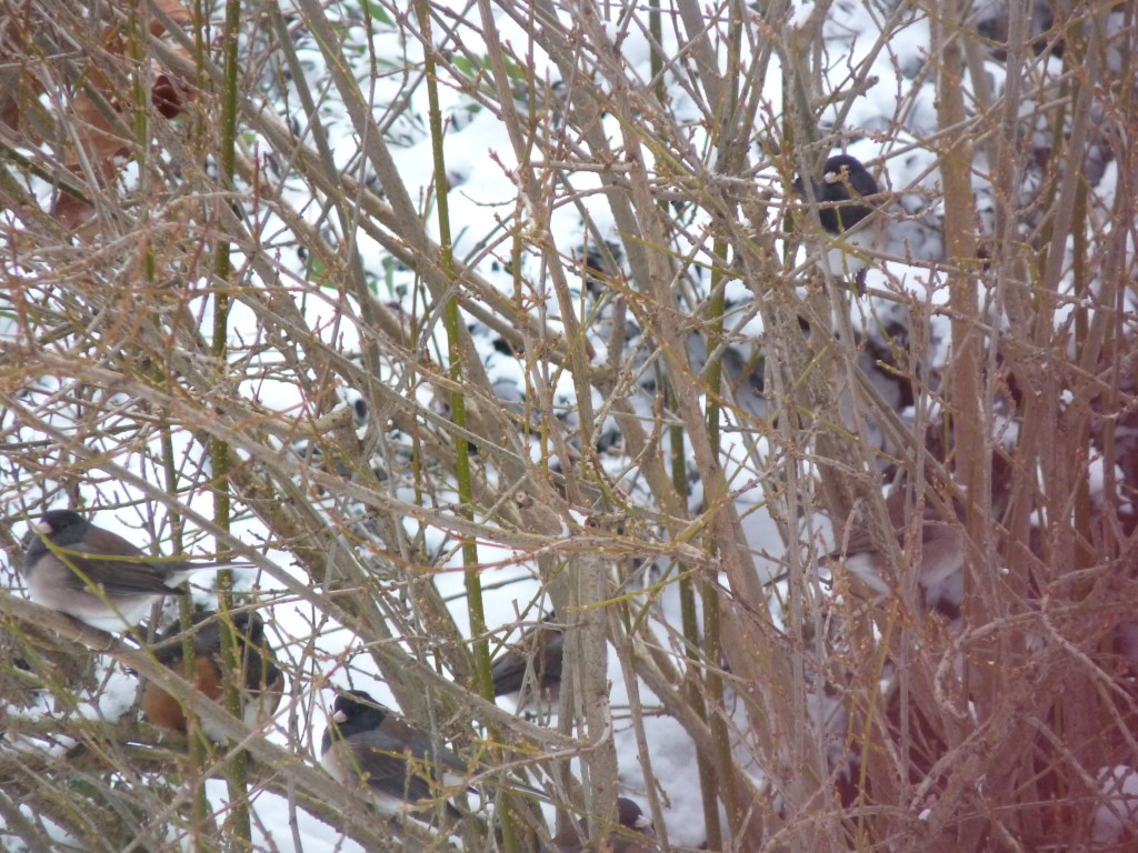 A bush full of juncos