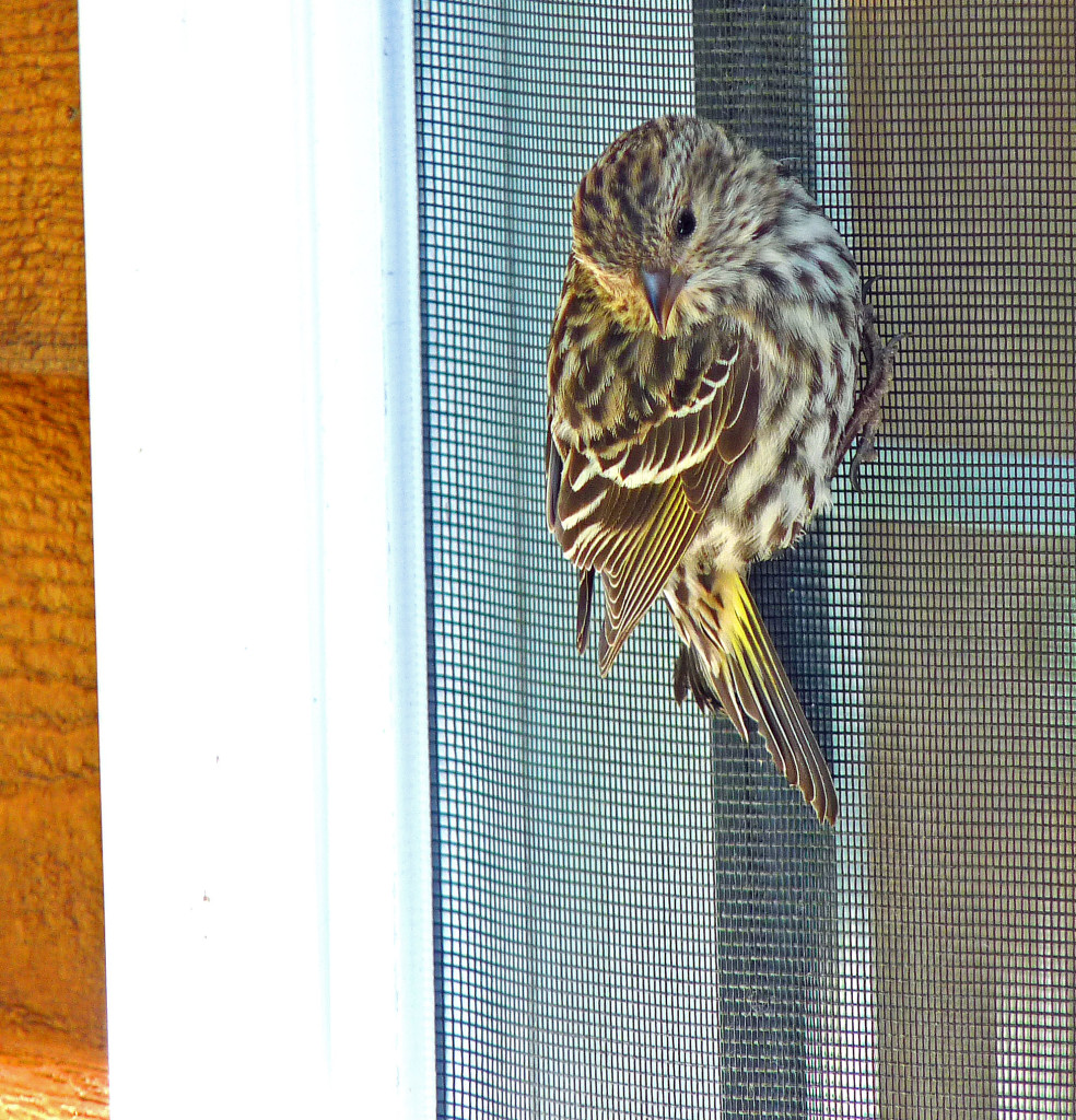 Pine Siskin resting after hitting sliding glass door
