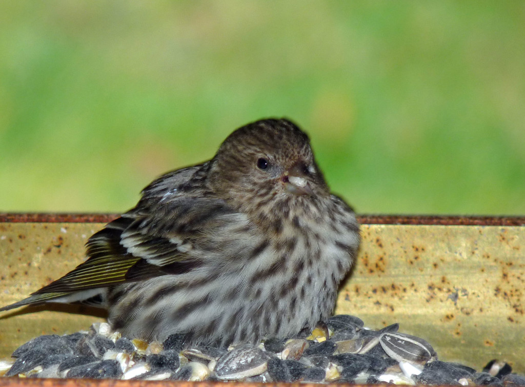Sick Pine Siskin, probably with salmonella.
