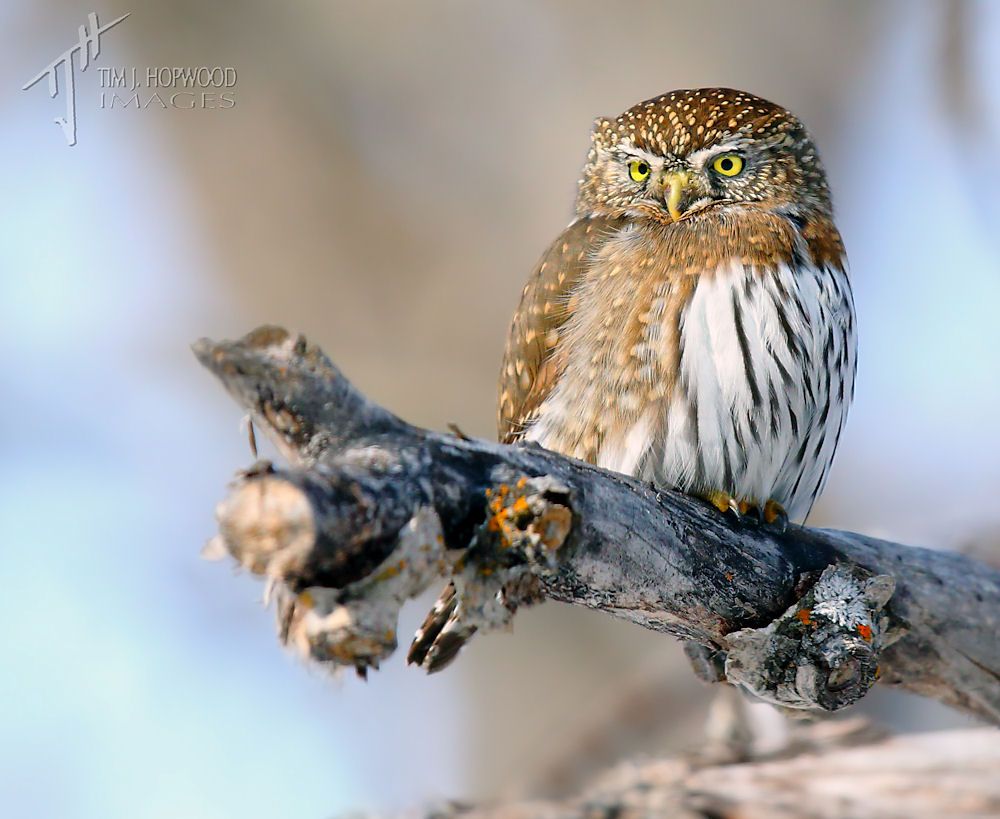 A male Northen PygmyOwl