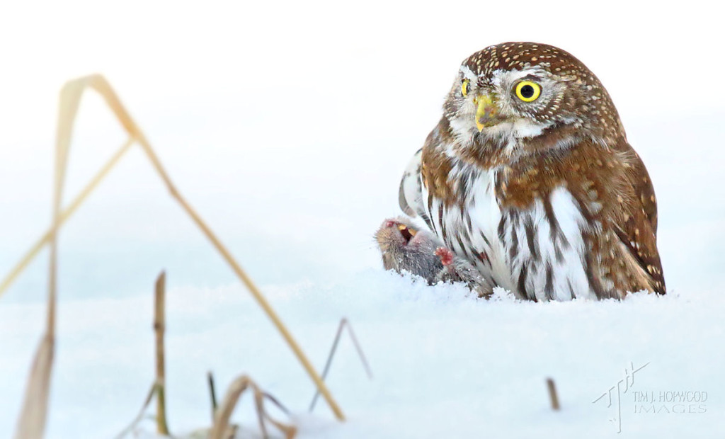 Another successful hunt...the owl saw this vole in the snow from 30 metres away!