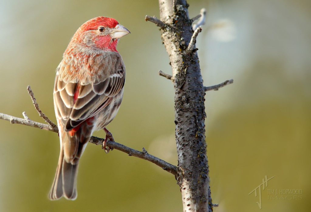 A 'red' House Finch