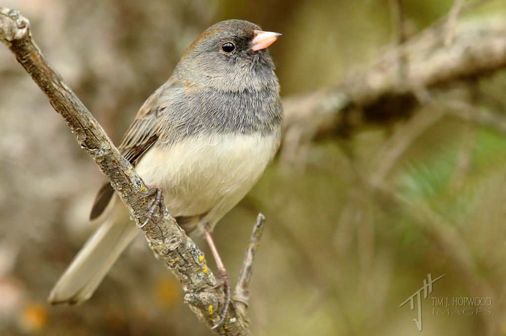 Dark-eyed Junco - I find they like to spend most of their time foraging in the underbrush