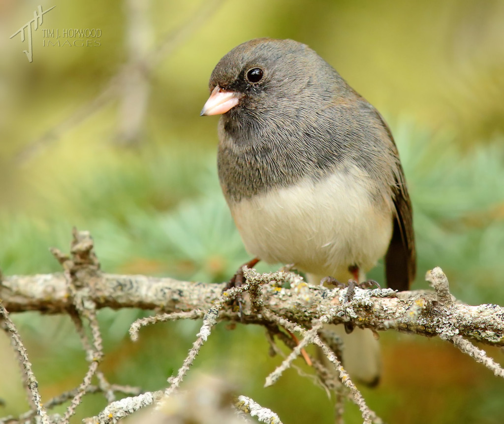 Same Junco as above, different pose.