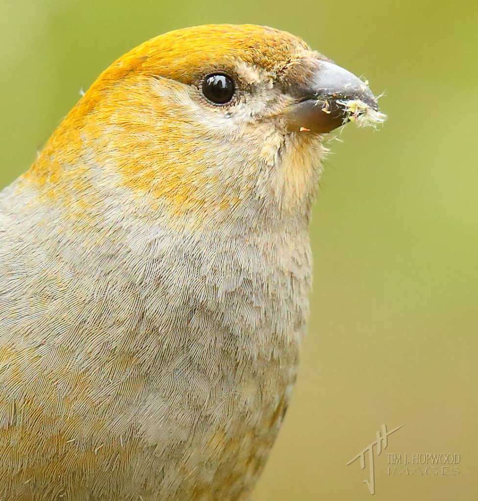 The same Grosbeak, up close