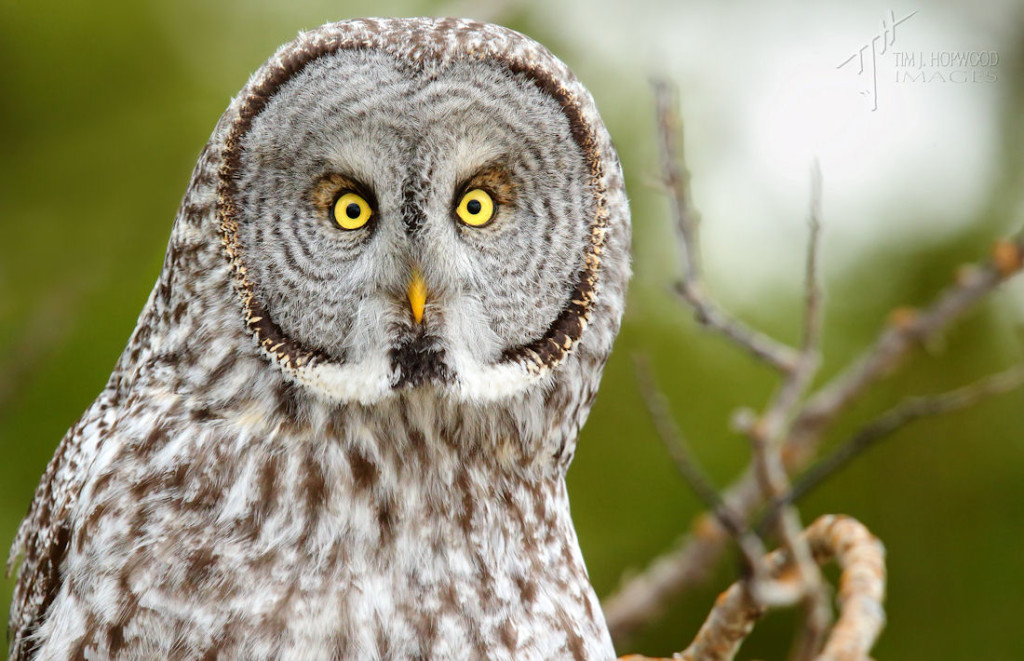 Great Grey Owl - a face full of personality.