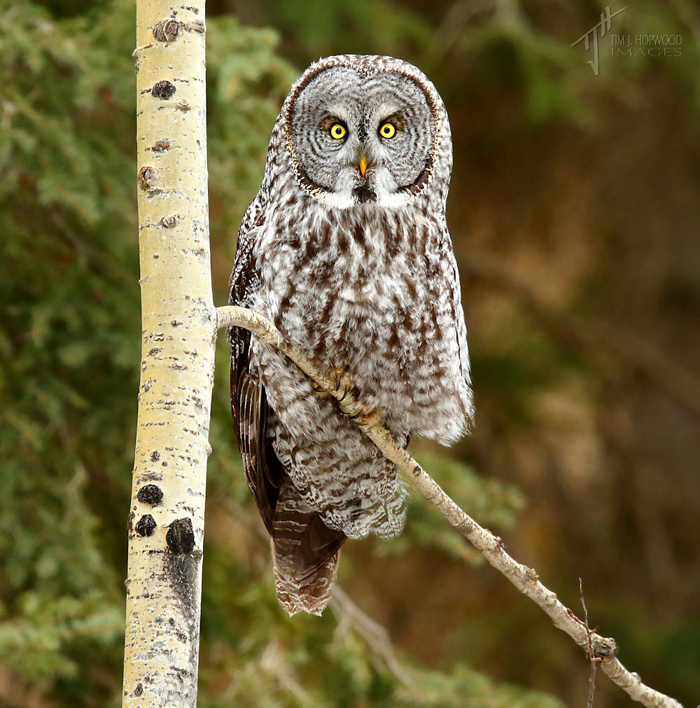 A Great Grey Owl - always a treat!