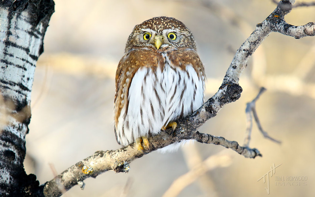 Another shot of the male Pygmy Owl