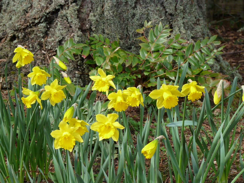 Daffodils in the garden - now!