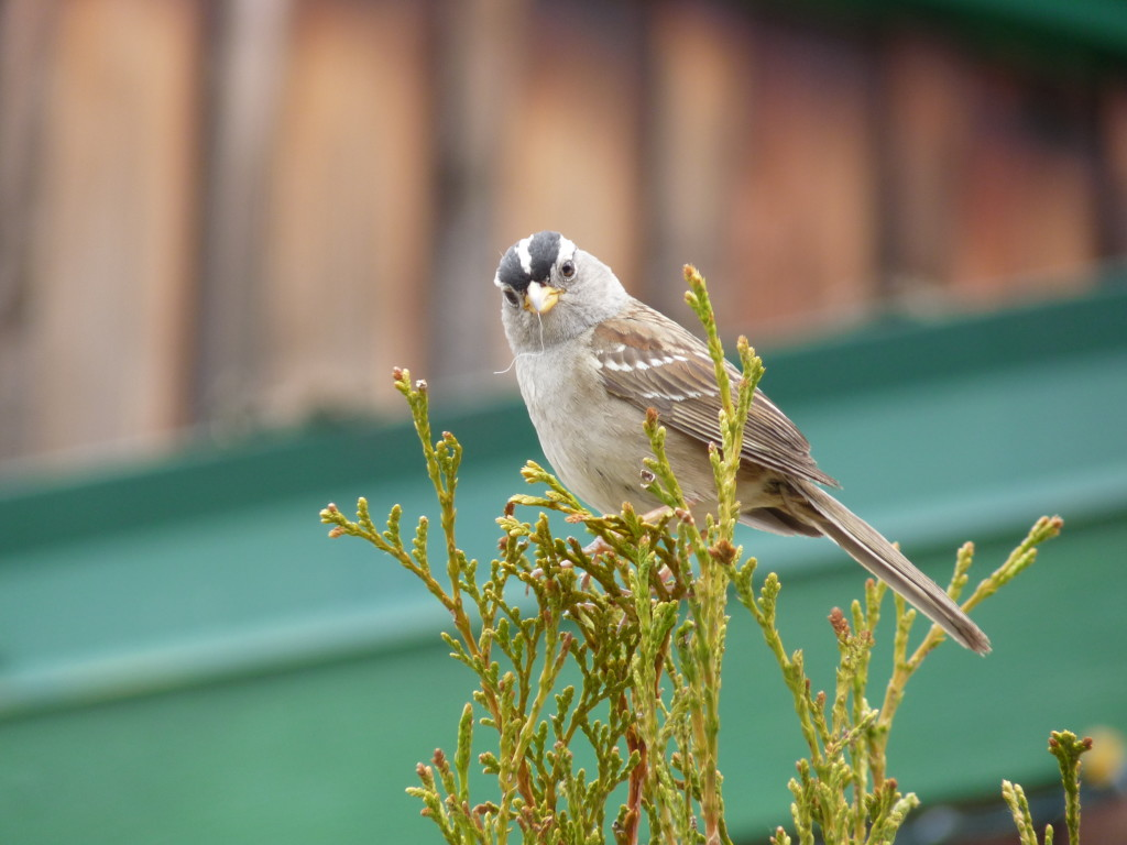 A White-crowned Sparrow nesting on Gabriola