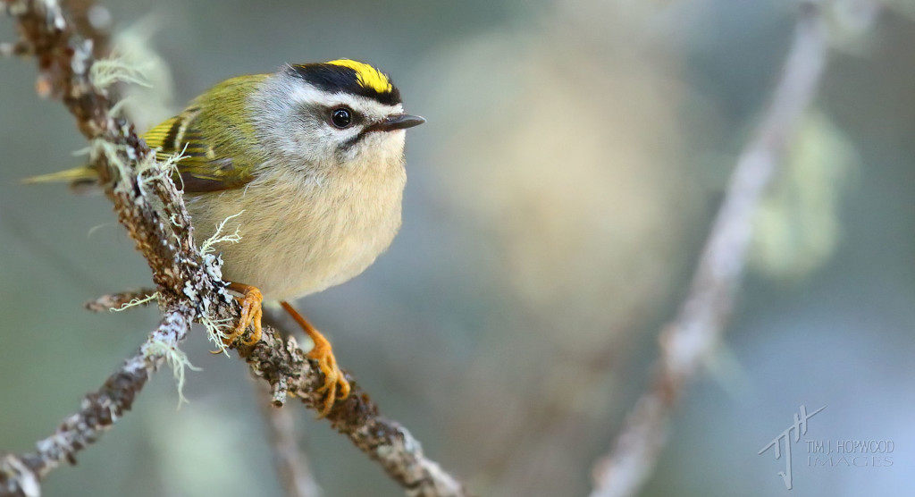 Golden-crowned Kinglet - female