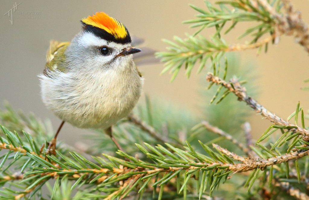 Golden-crowned Kinglet - male. What a cool hair-do!