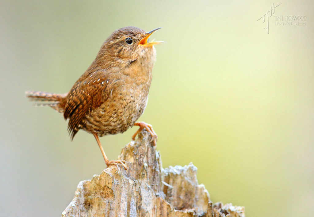 Pacific Wren in full song