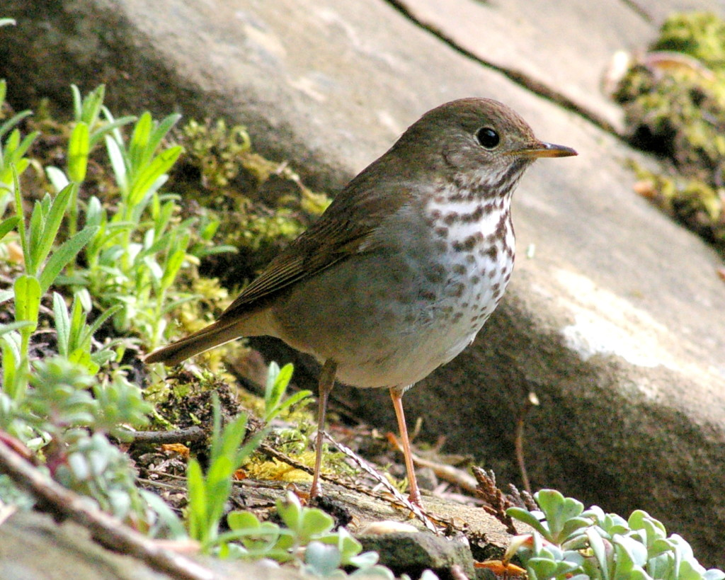 Hermit Thrush. Photo by Garry Davey.