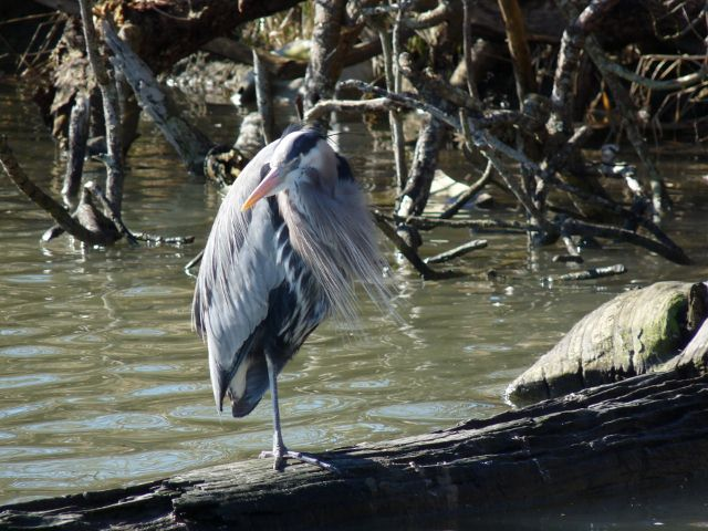 Great Blue Heron at Reifel Bird Sanctuary in Delta BC