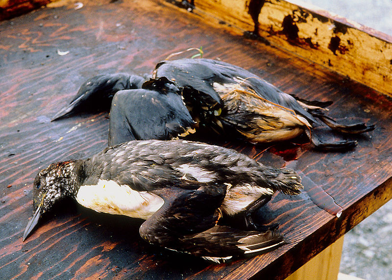 Oiled birds after Exxon Valdez spill. CC license.
