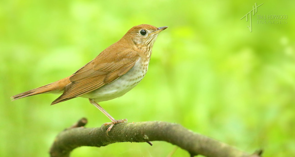 Veery - a bird of the thrush family.