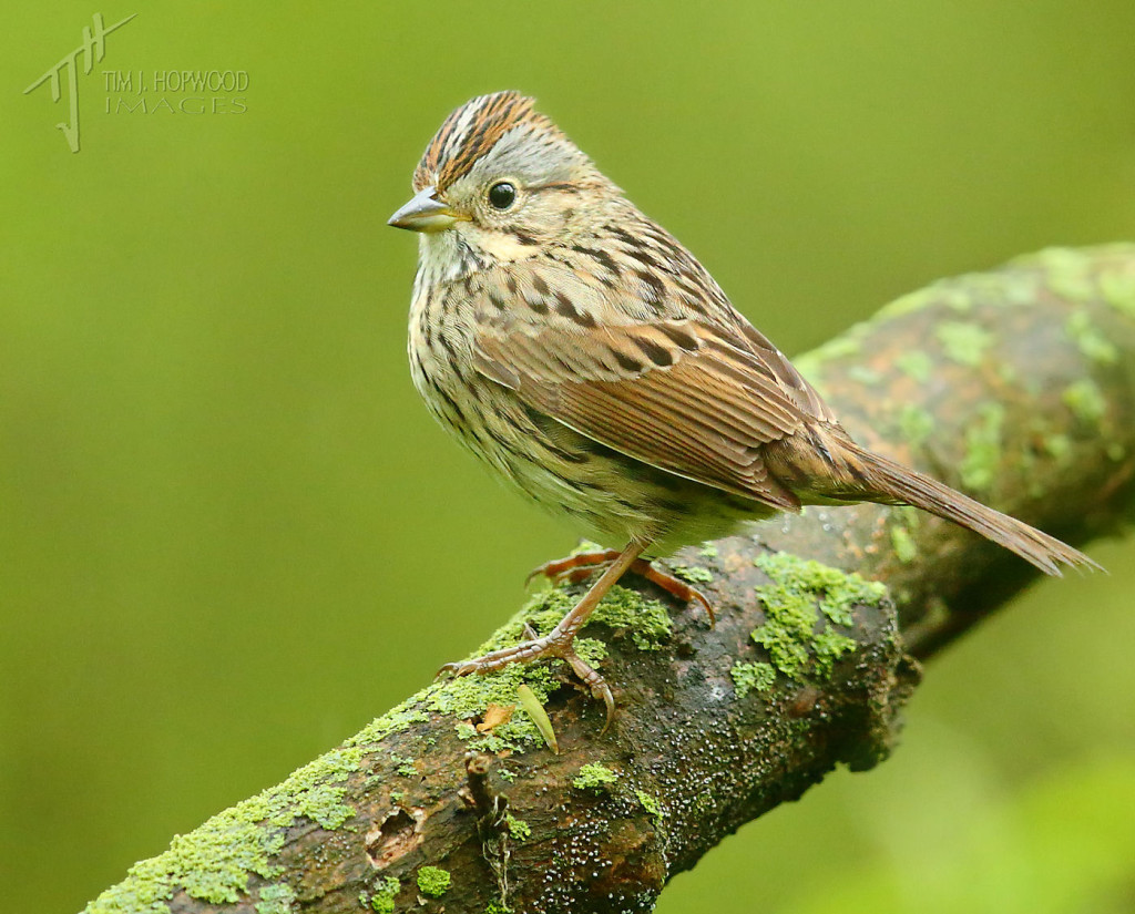 A Lincoln's Sparrow - small flocks of these patrolled the forest floor.
