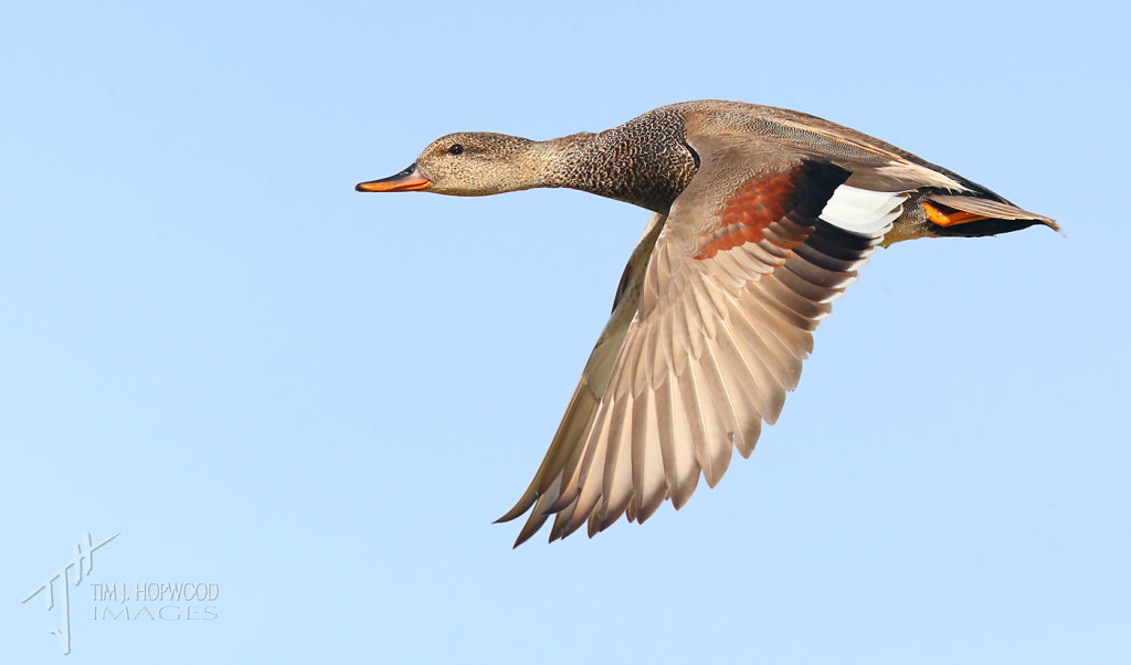 A Gadwall in full flight