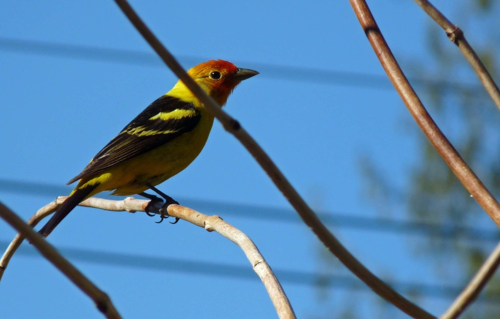 Western Tanager in our front yard, migrating through