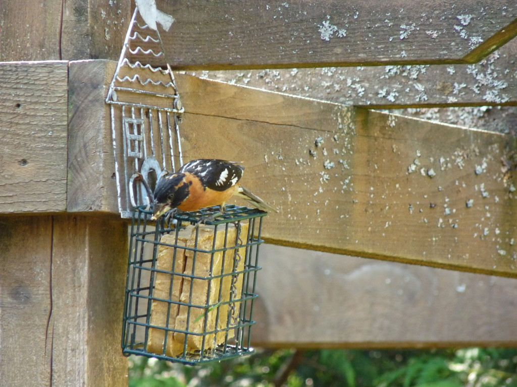 Black-headed Grosbeak, juvenile male