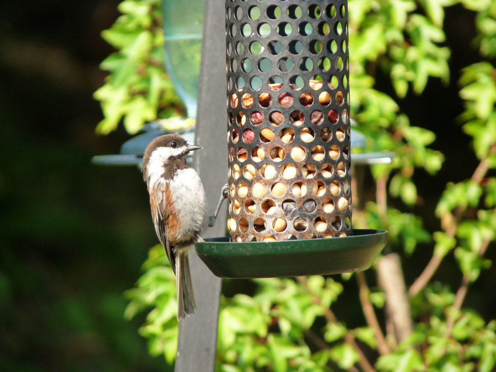 Chestnut-backed Chickadee enjoying a nut