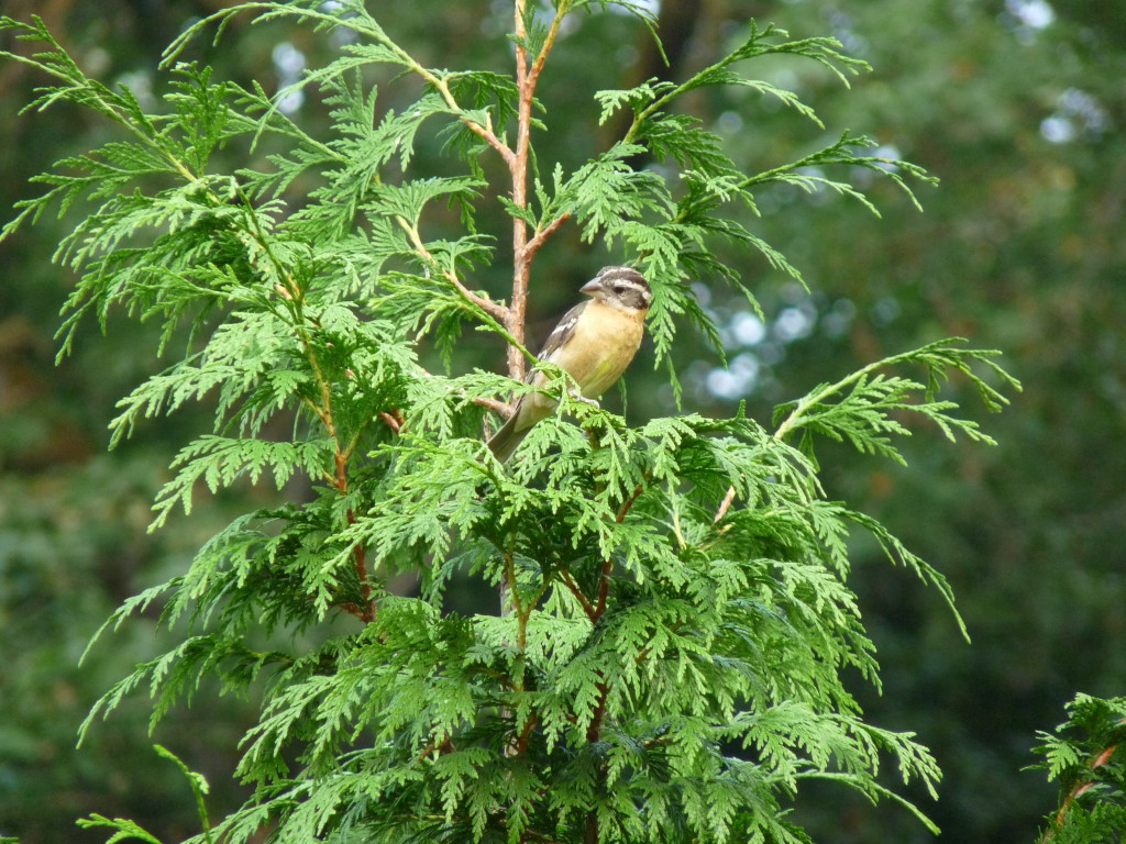 Female Black-headed Grosbeak in Cedar tree