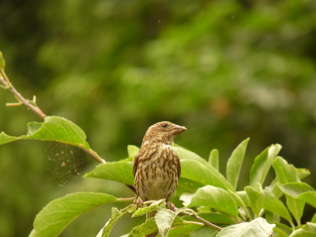 Juvenile House Finch in plum tree